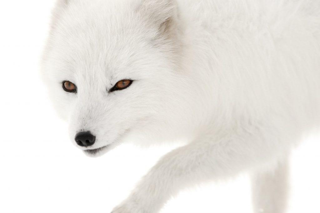 "Expo ""Melrakki, le renard polaire"" © Philippe Garcia"