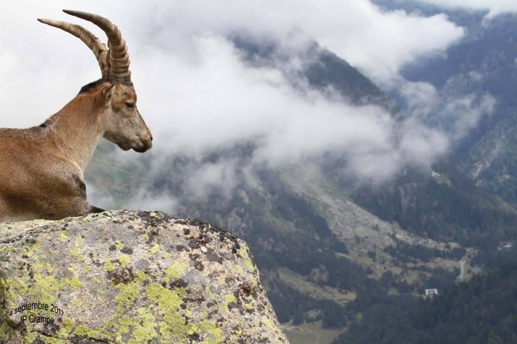 Lâcher de bouquetins ibériques - photo : Jean-Paul Crampe / Parc national des Pyrénées
