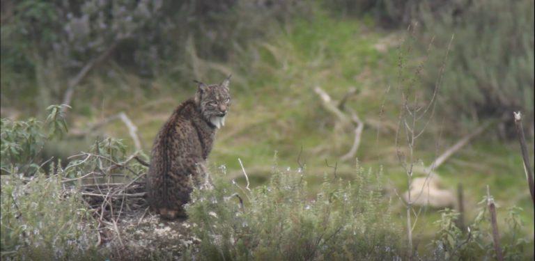 Sur le territoire du lynx