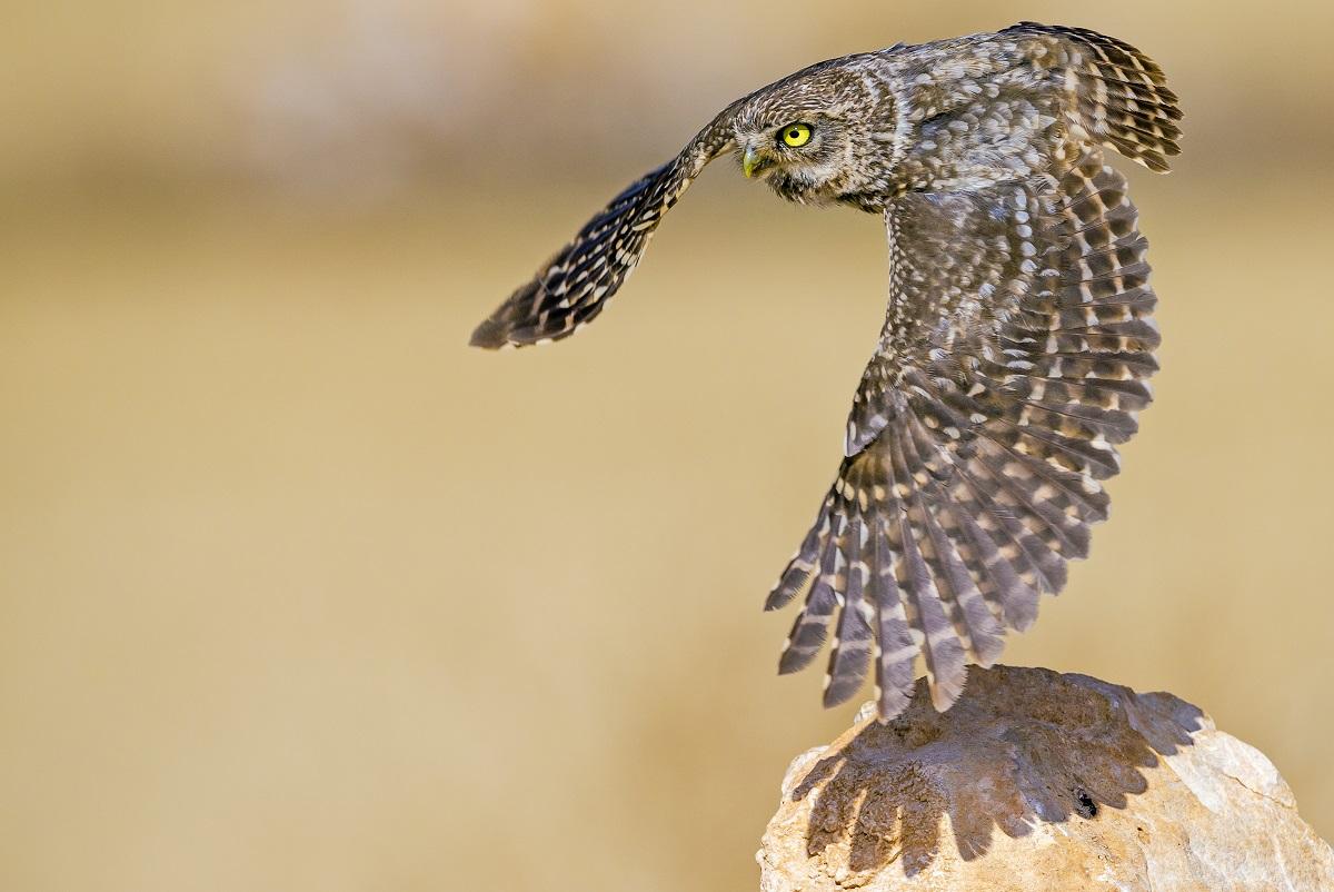 Owls © Stéphanie & David Allemand