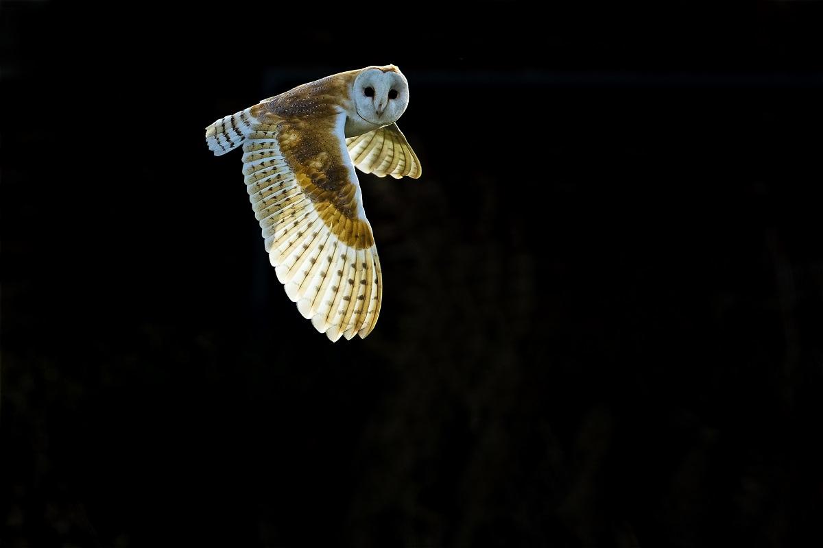 Owls, chouettes et hiboux d'Europe © Stéphanie & David Allemand