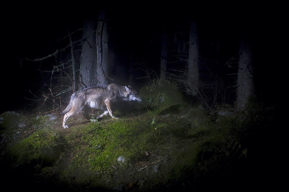 Loup, sur les traces d'une ombre © Sébastien De Danieli