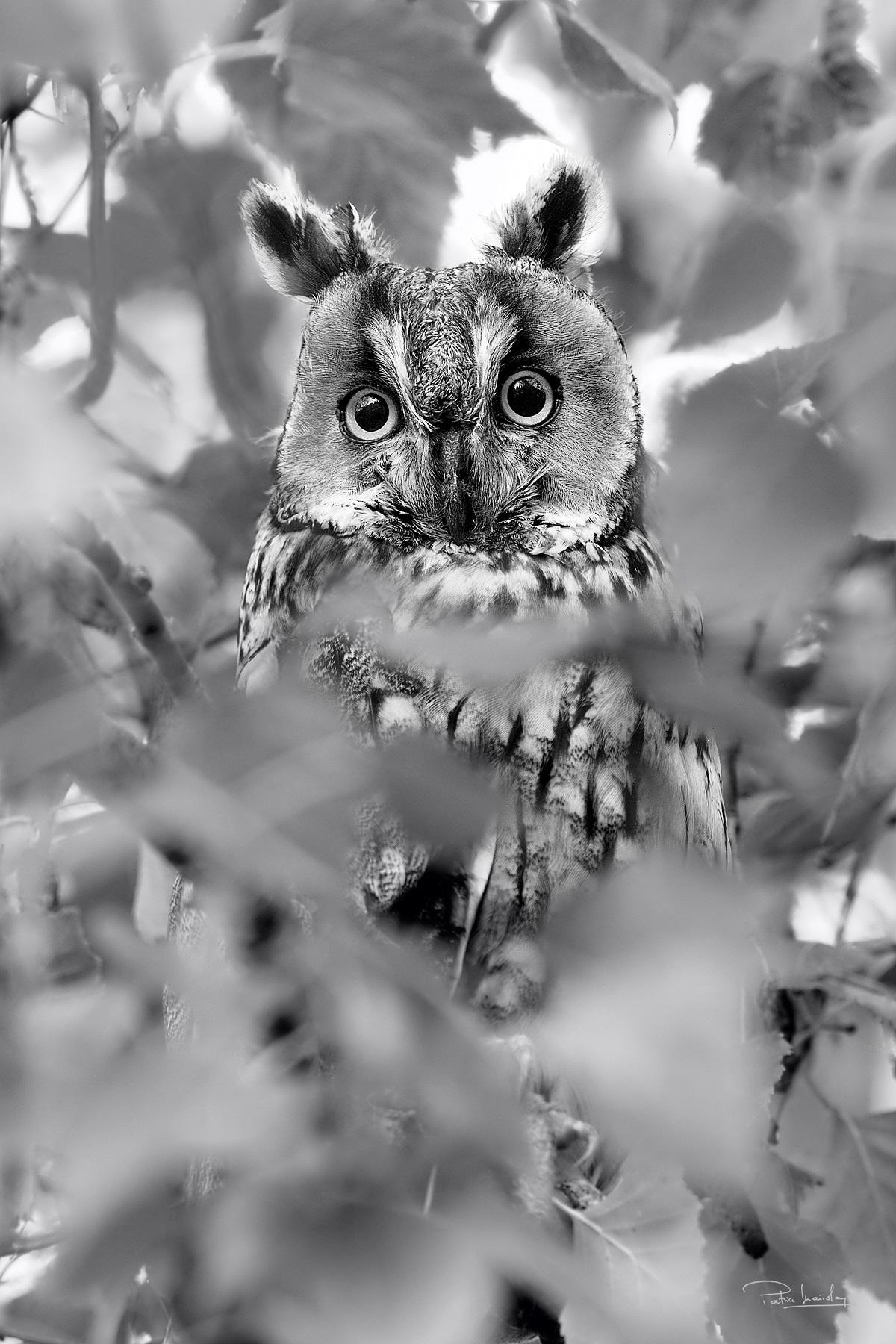 Plumes - Hibou moyen-duc © Patrice Mariolan