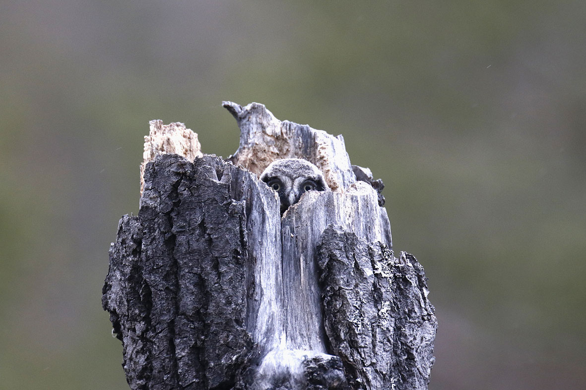 Une famille de chouettes épervières © André Brocard
