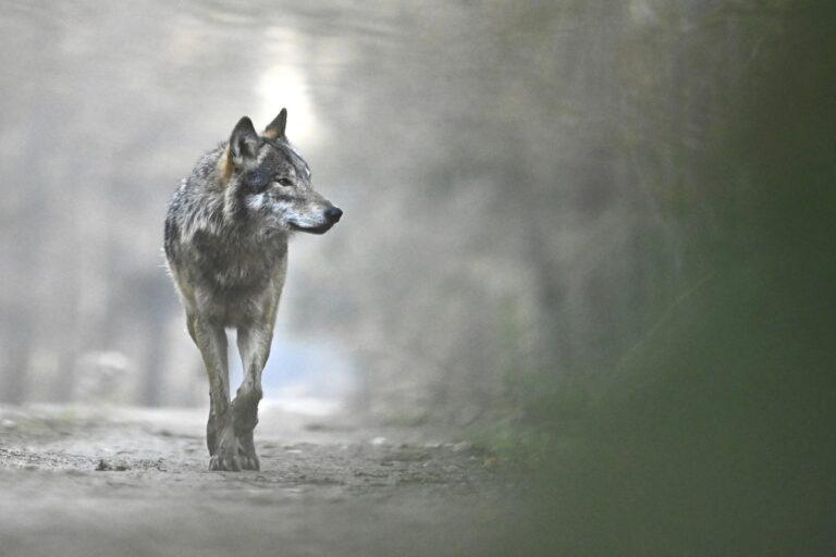 Le loup en Europe © Fabien Bruggmann