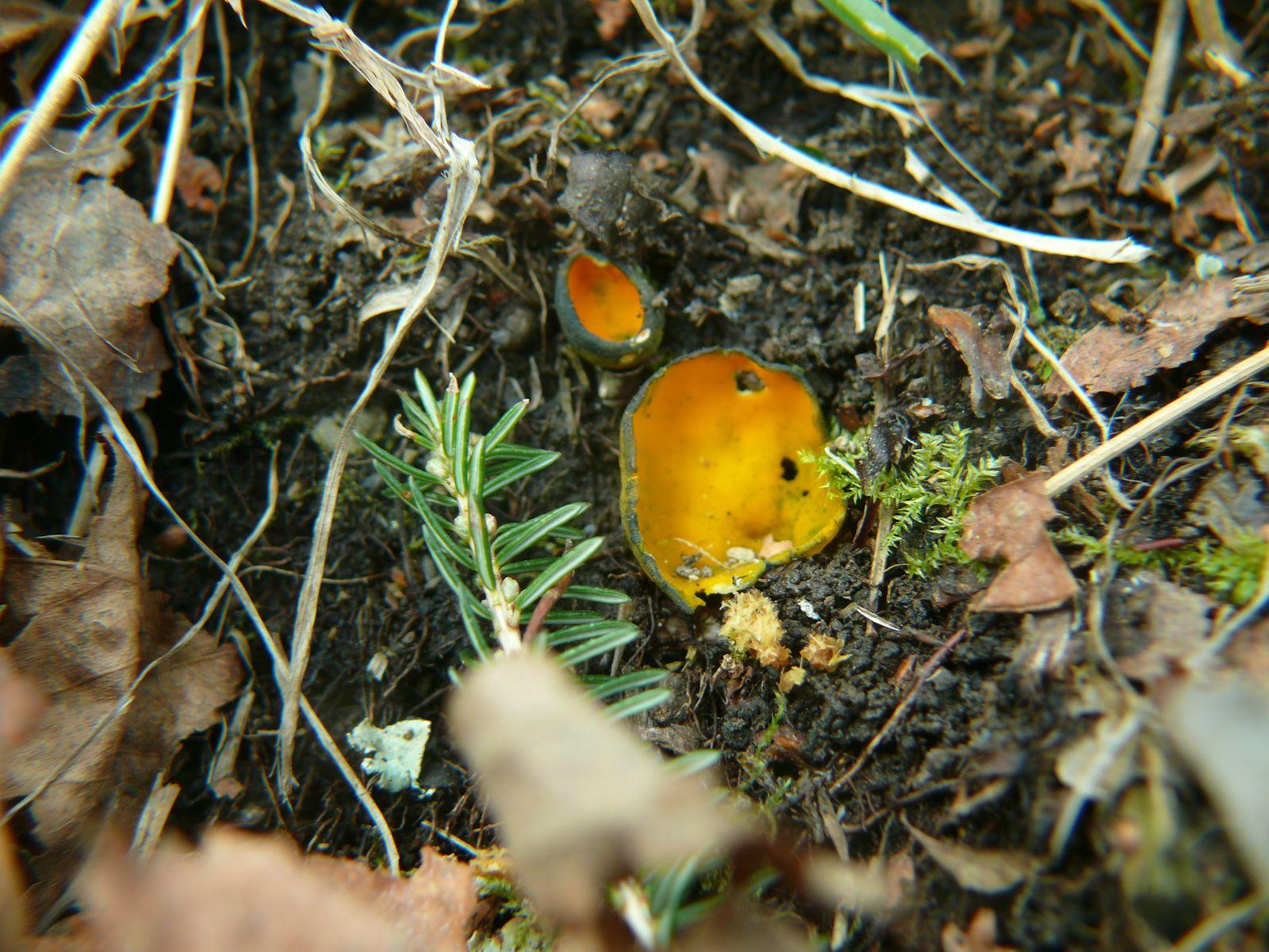 Sortie mycologique - Caloscypha Fulgens © Association mycologique de Bigorre
