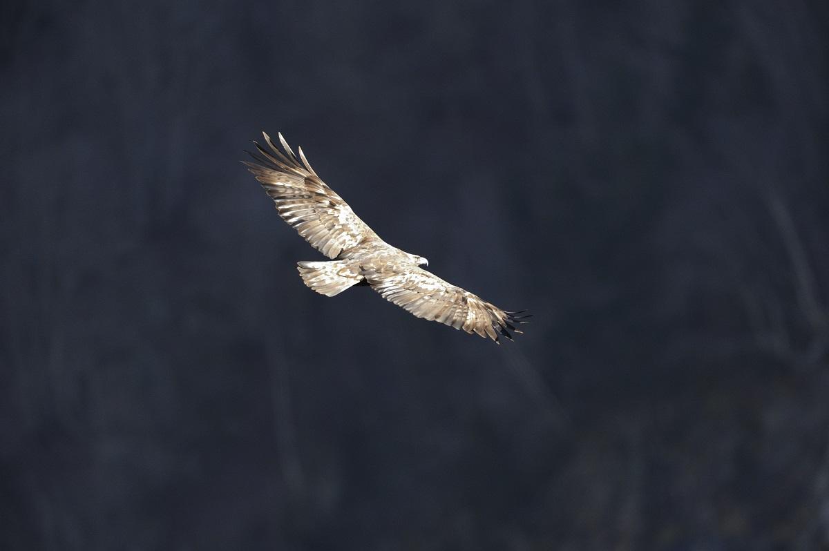 A la rencontre de la faune du Parc national des Pyrénées - Aigle royal © Jean-François Marsalle